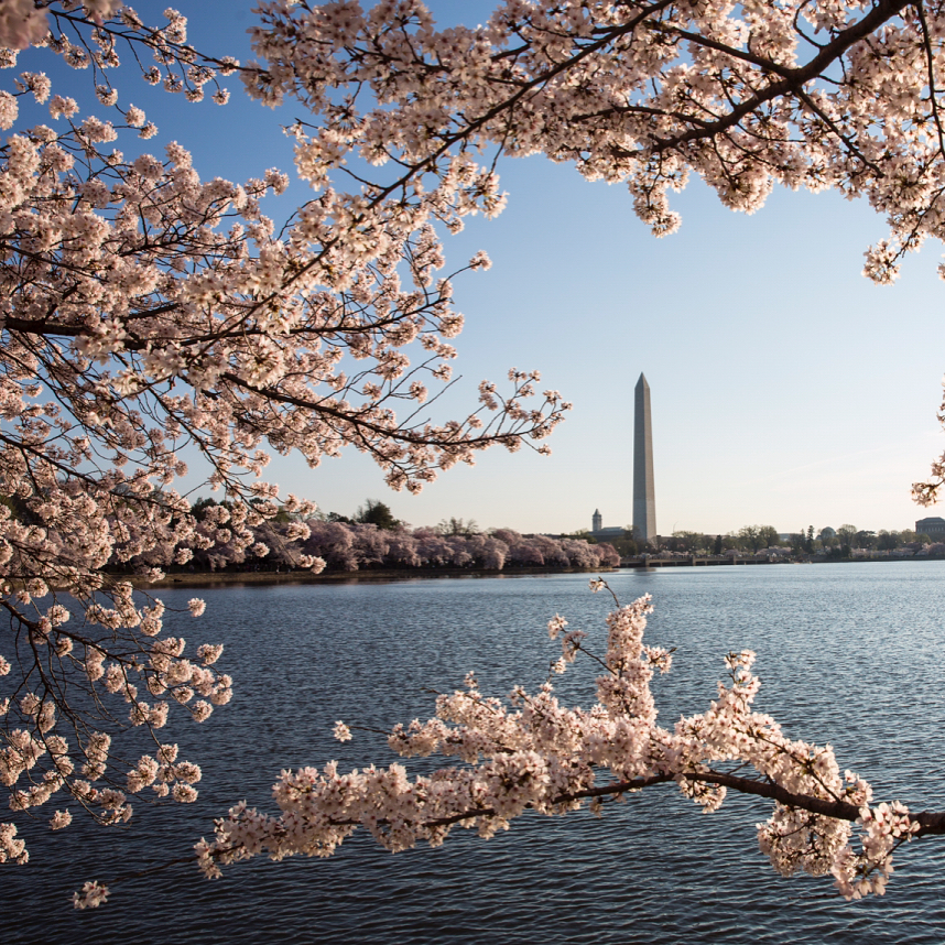 Pink and White Japanese Cherry Blossoms Bloom across from the Washing Monument in downtown D.C.