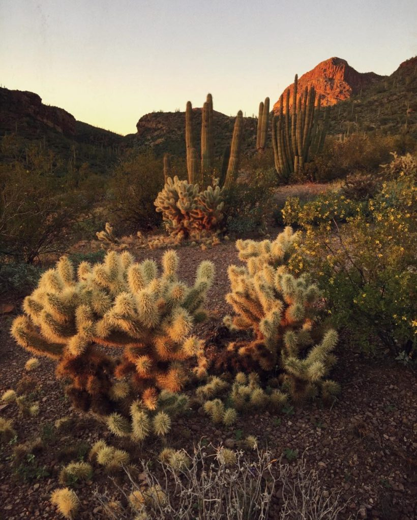 Cholla and Saguaro Cactus against a rocky desert at sunsrise or sunset on the Sonoran desert