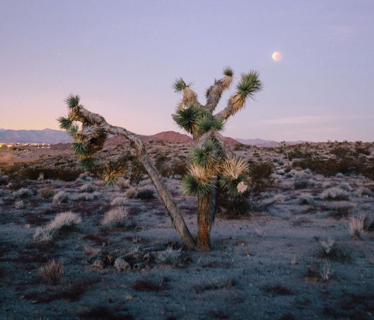Joshua tree with rising moon
