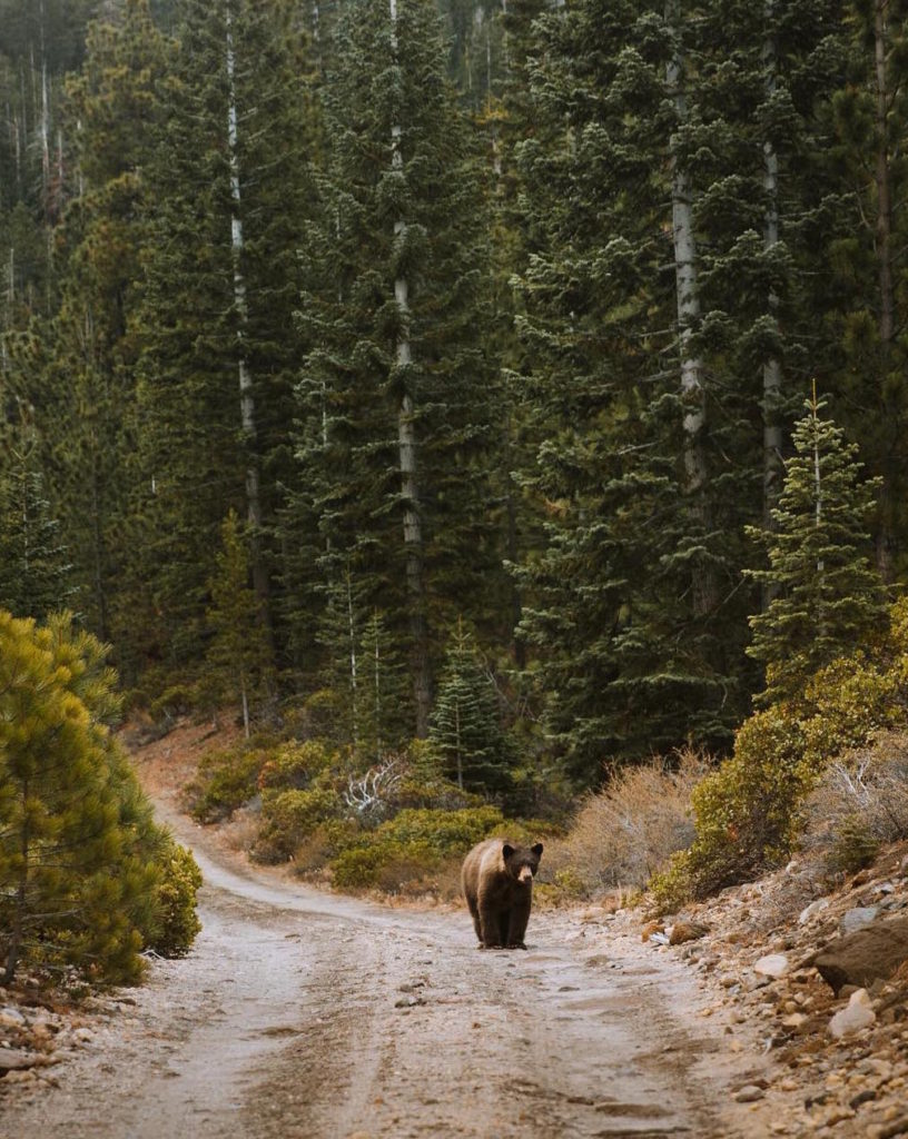 Bear walking on road in the forest
