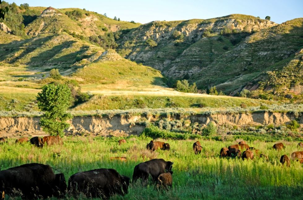 Grazing Bison on green plains
