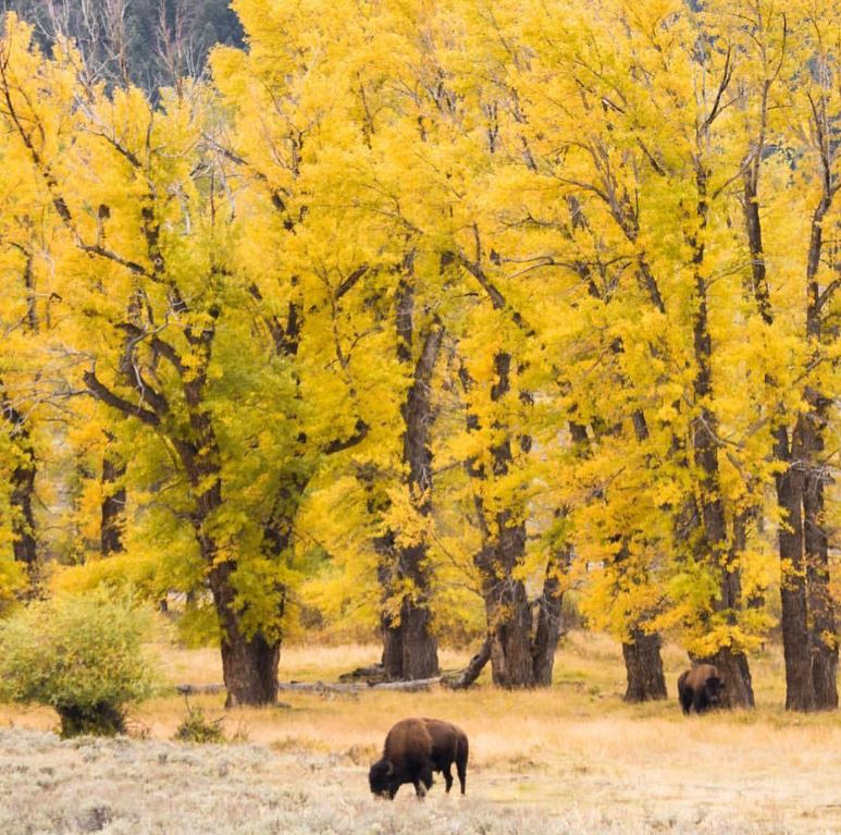 Bison grazing under yellow trees