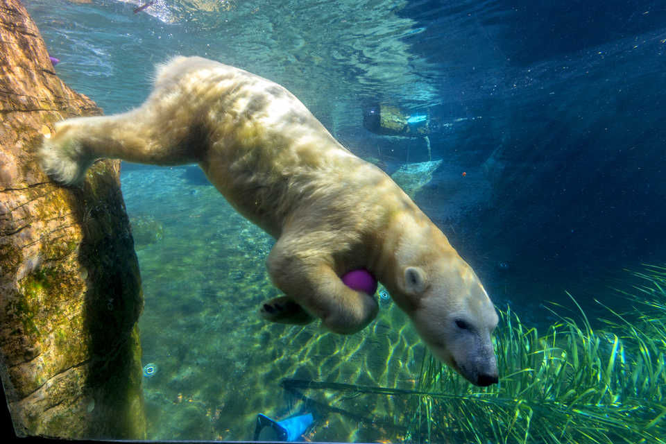 Polar Bear Swimming in Sand Diego Zoo