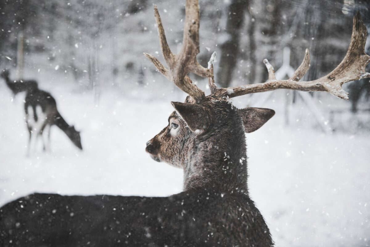 Deer caught in snow in winter