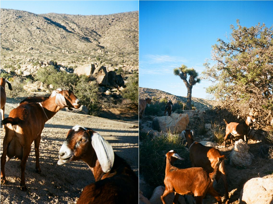 Goat Hike in Joshua Tree California Airbnb Experiences