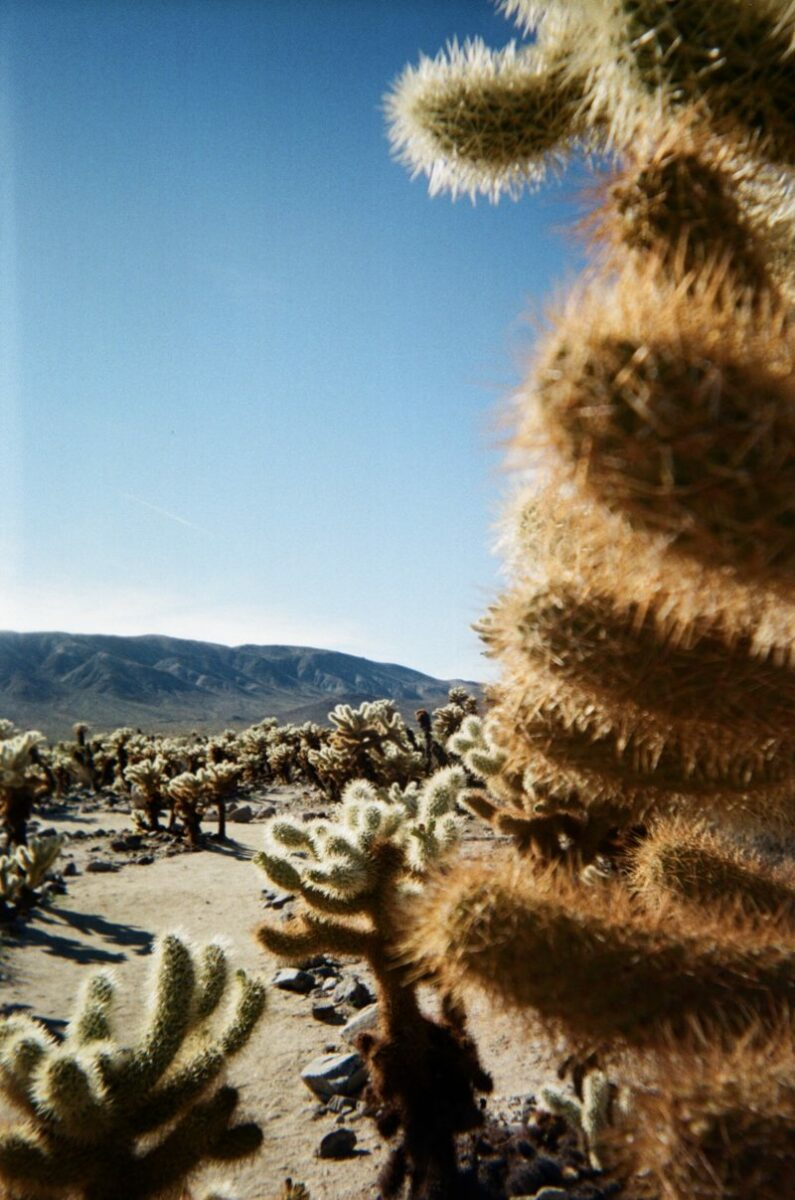 Cholla gardens in Joshua tree National Park is the ultimate hidden gem of southern California